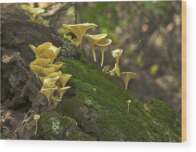 Autumn Wood Print featuring the photograph Chanterelles 8681 by Michael Peychich
