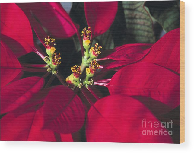 Beauty In Nature Wood Print featuring the photograph Christmas Flower by Juan Silva