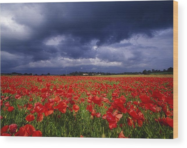 County Kildare Wood Print featuring the photograph County Kildare, Ireland Poppy Field by Richard Cummins