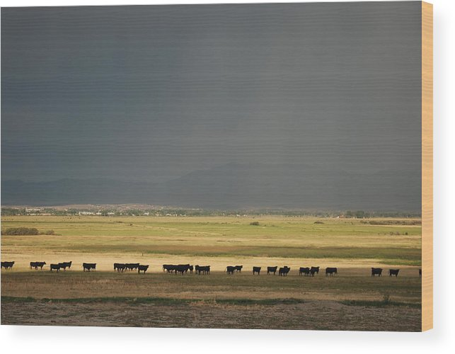 Cows Wood Print featuring the photograph Cows W Dark Sky by Vicki Coover