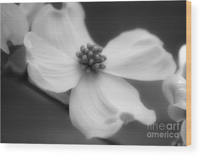 Flower Wood Print featuring the photograph Dogwood by Karen Lewis