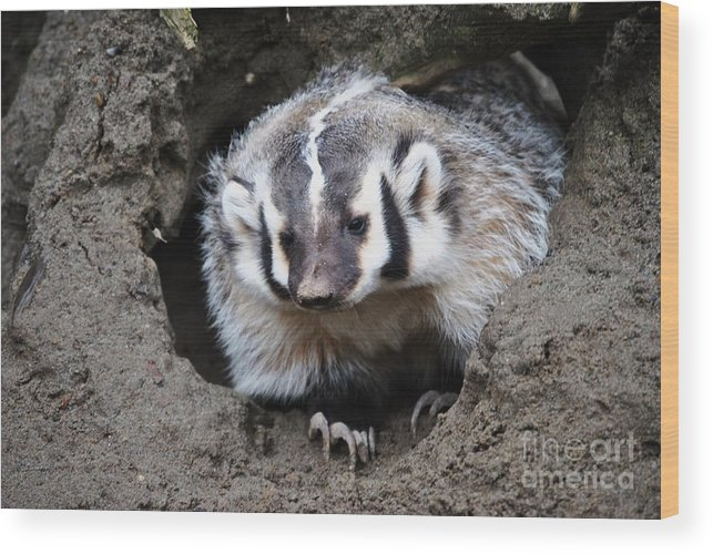 Animal Wood Print featuring the photograph Early Morning Badger by Frank Larkin