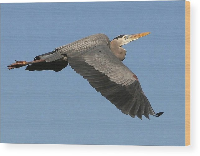Birds Wood Print featuring the photograph Flight Of The Great Blue Heron by Myrna Bradshaw