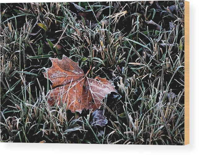 Leaf Wood Print featuring the photograph Frosted Leaf by Andrew Mroz