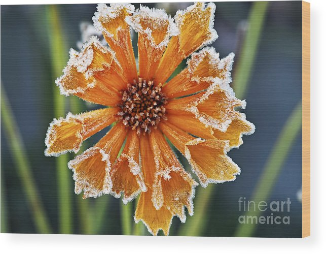 Flower Wood Print featuring the photograph Frosty Flower by Elena Elisseeva
