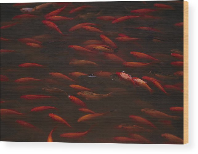 fishes Wood Print featuring the photograph Koi Fish In China by Michael Nichols