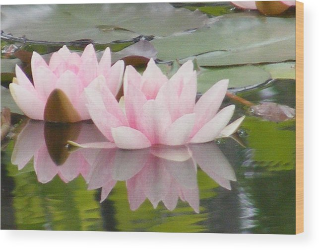 Water Lily Wood Print featuring the photograph Pink Reflections by Carol Bruno