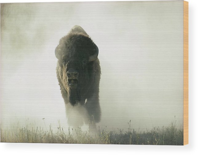 North America Wood Print featuring the photograph Running Bison Kicking Up Dust by Lowell Georgia
