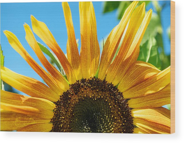 Sky Wood Print featuring the photograph Sunflower Meets Sky by Shawn Johnson