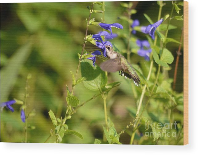 Hummingbird Wood Print featuring the photograph The Hummers Muzzle by Kathy Gibbons