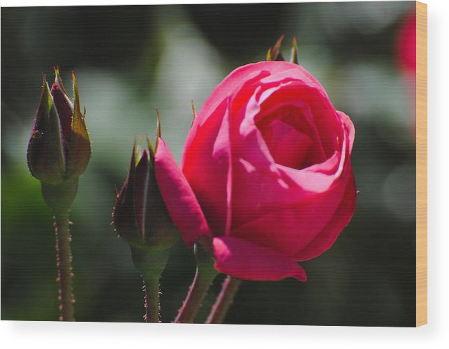 Flowers Wood Print featuring the photograph The Rose by John Blanchard