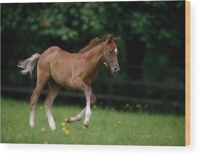 Bridle Wood Print featuring the photograph Thoroughbred Horse, National Stud by The Irish Image Collection