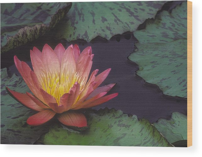 Flower Wood Print featuring the photograph Water Lily by Ralph Fahringer