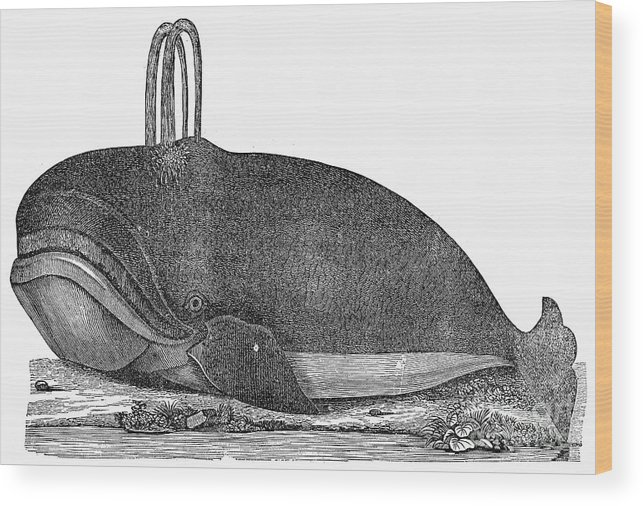 1537 Wood Print featuring the photograph Whale, 1537 by Granger
