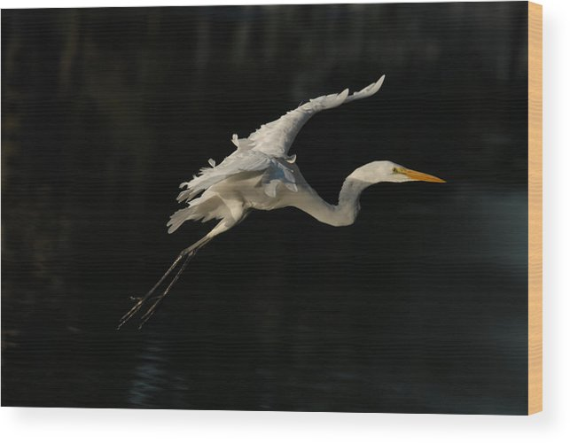 Bird Wood Print featuring the photograph White Egret by Dung Ma