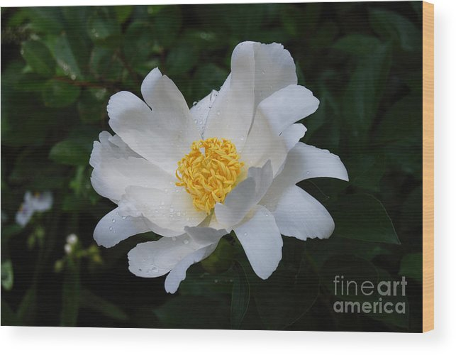 White Peony Flower Wood Print featuring the digital art White Peony Flowers Series 4 by Eva Kaufman