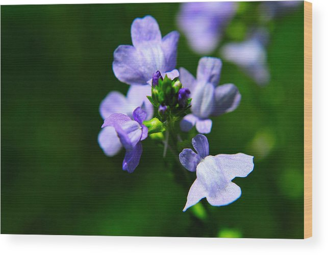 Flowers Wood Print featuring the photograph Wild Flower by John Blanchard