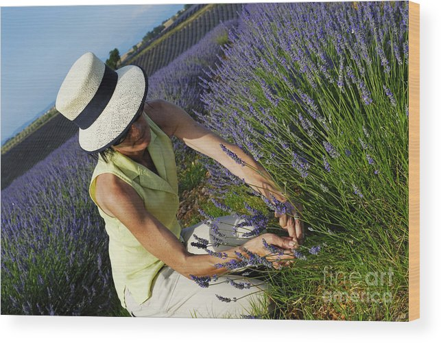 Care Wood Print featuring the photograph Woman Picking Up Lavender Flowers In Field by Sami Sarkis