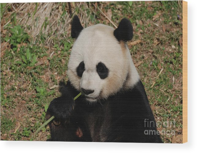 Panda Wood Print featuring the photograph Adorable Giant Panda Eating A Green Shoot Of Bamboo by DejaVu Designs