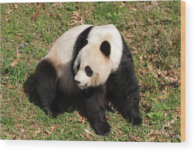Panda Wood Print featuring the photograph Beautiful Giant Panda Bear In The Wild by DejaVu Designs