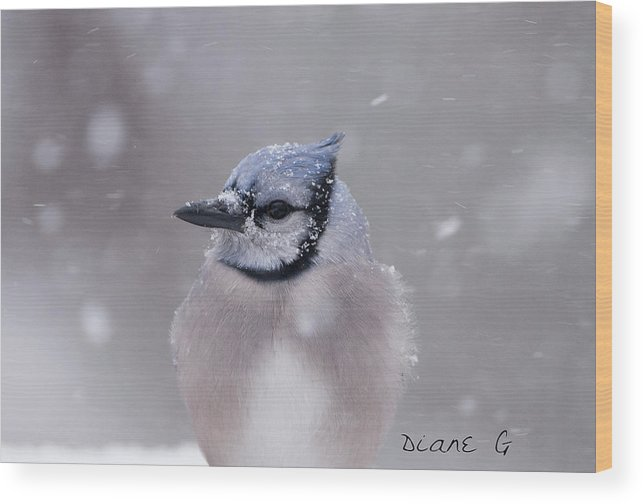 Blue Jay Wood Print featuring the photograph Blue Jay In A Blizzard by Diane Giurco