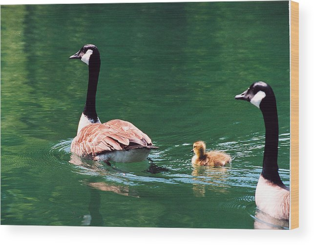 Goose Wood Print featuring the photograph Geese Family by Paul Trunk