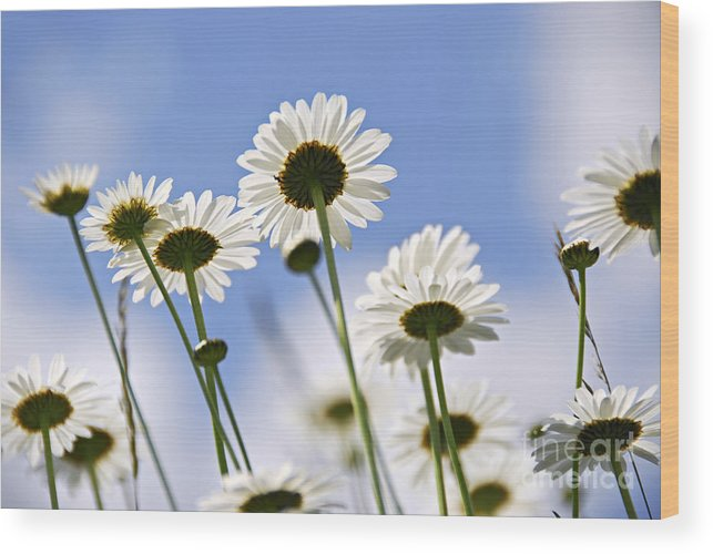 Daisy Wood Print featuring the photograph White Daisies by Elena Elisseeva