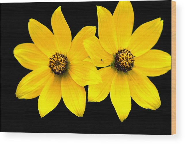 Daisies Wood Print featuring the photograph 2 Yellow Daisies by BuffaloWorks Photography