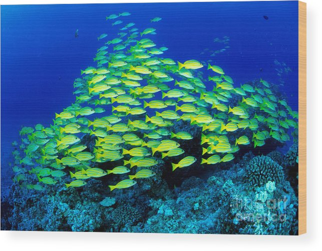 30-pfs0059 Wood Print featuring the photograph Bluestripe Snapper by Dave Fleetham - Printscapes