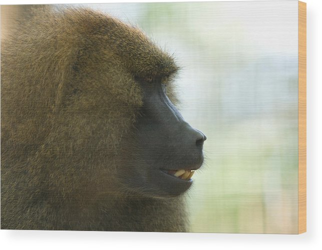 Guinea Baboon Wood Print featuring the photograph A Guinea Baboon At The Lincoln by Joel Sartore