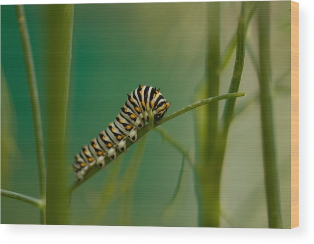 Photography Wood Print featuring the photograph A Swallowtail Butterfly Caterpillar by Joel Sartore