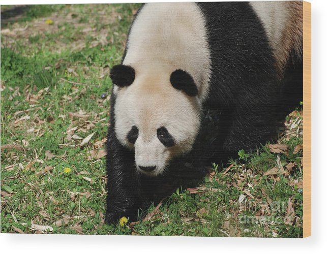 Panda Wood Print featuring the photograph Adorable Face Of A Black And White Giant Panda Bear by DejaVu Designs