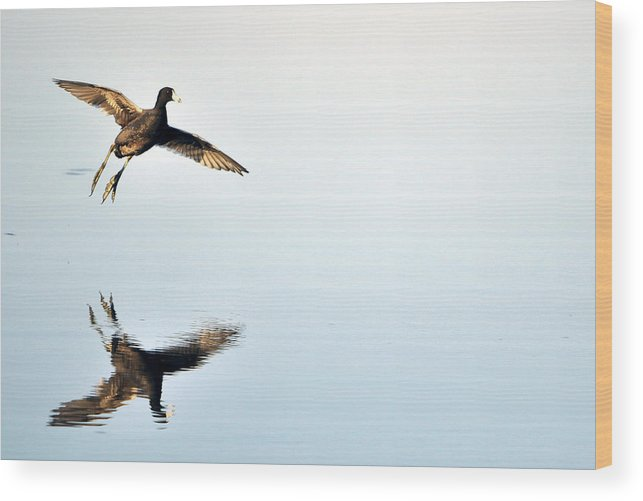 Duck Wood Print featuring the photograph All Clear For Landing by Brian Fisher
