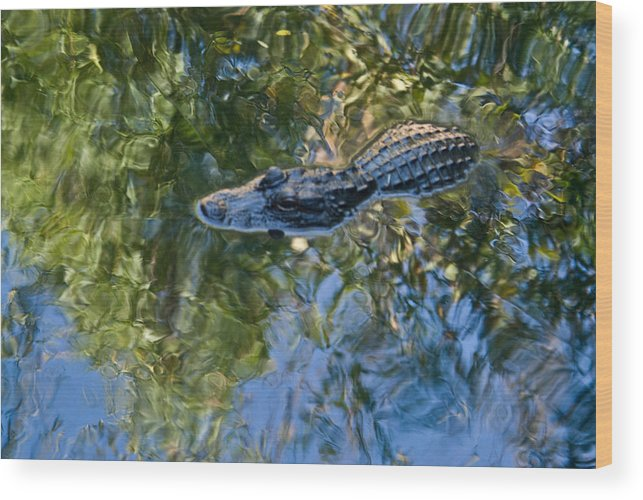 Alligator Wood Print featuring the photograph Alligator Stalking by Douglas Barnett