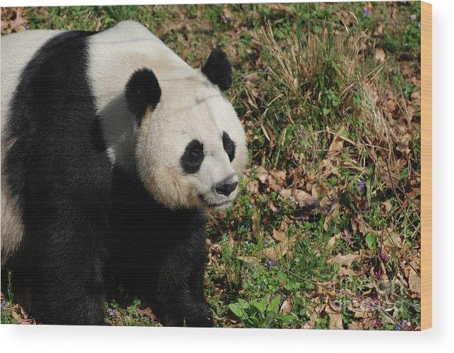 Panda Wood Print featuring the photograph Amazing Giant Panda Bear Sitting In A Grass Field by DejaVu Designs