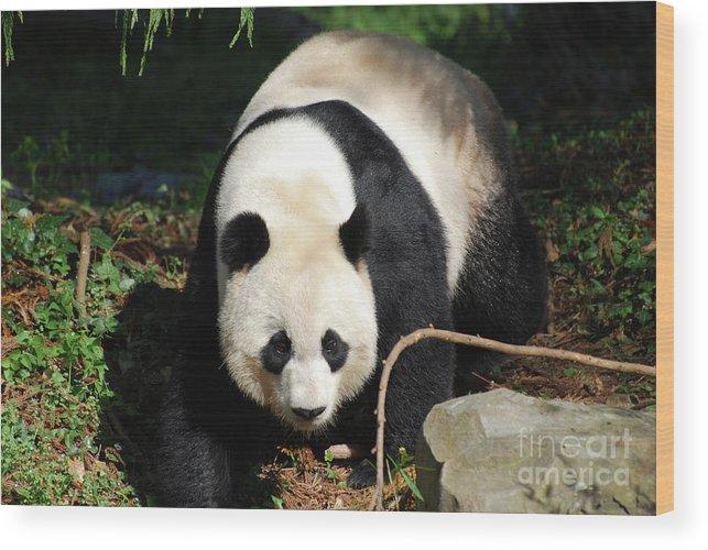 Panda Wood Print featuring the photograph Amazing Sweet Chinese Giant Panda Bear Walking Around by DejaVu Designs