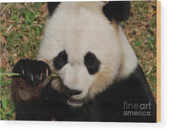 Panda Wood Print featuring the photograph An Up Close Look At A Giant Panda Bear by DejaVu Designs