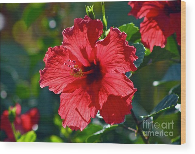 Hibiscus Wood Print featuring the photograph Backlit by Craig Wood