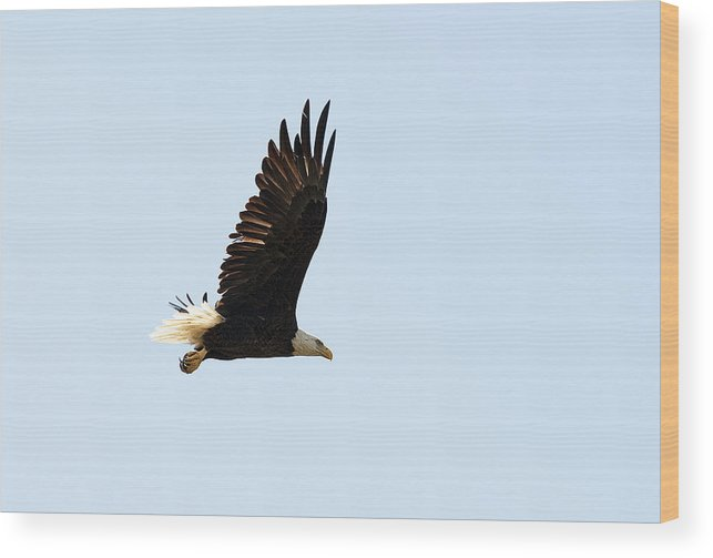 Artistic Wood Print featuring the photograph Bald Eagle by Gouzel -