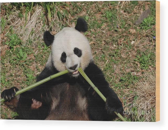 Panda Wood Print featuring the photograph Beautiful Giant Panda Eating Bamboo From The Center by DejaVu Designs