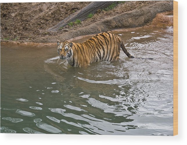 Bengal Wood Print featuring the photograph Bengal Tiger Wading Stream by Douglas Barnett