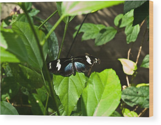 Black Wood Print featuring the photograph Black Tropical Butterfly by Douglas Barnett