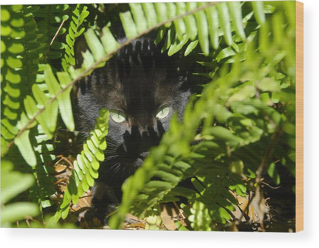Cat Wood Print featuring the photograph Blackie In The Ferns by David Lee Thompson