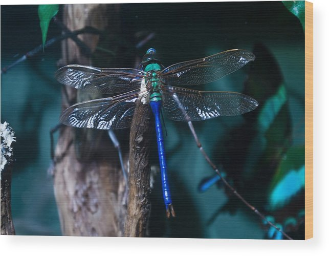 Blue Wood Print featuring the photograph Blue And Green Dragonfly by Douglas Barnett