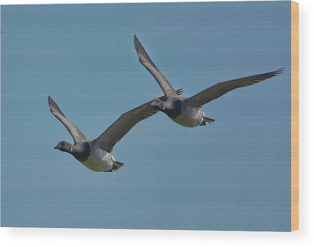 Birds Wood Print featuring the photograph Brent Geese by Paul Hayes