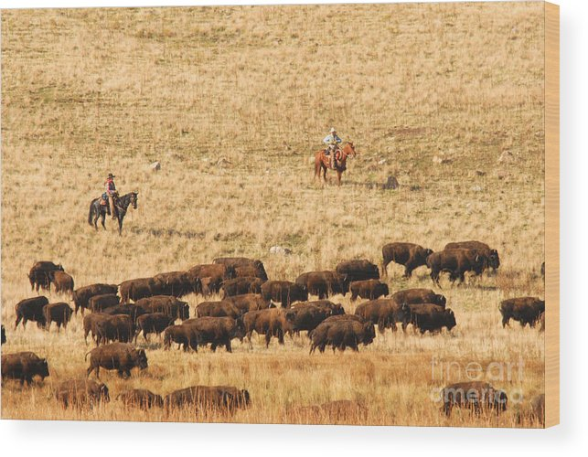 Utah Wood Print featuring the photograph Buffalo Roundup by Dennis Hammer