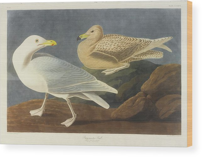 John James Audubon (after) Burgomaster Gull (plate Cccxcvi) Wood Print featuring the painting Burgomaster Gull by MotionAge Designs
