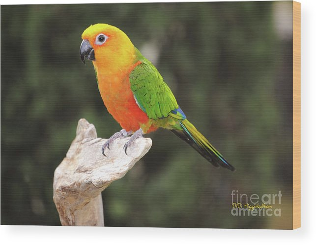 jenday Conure Conure Conures Pet Pets Bird Birds Wood Print featuring the photograph Butters by DiDi Higginbotham