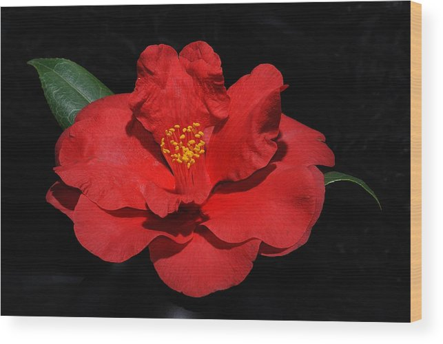 Flower Wood Print featuring the photograph Camillea by Ed Zirkle