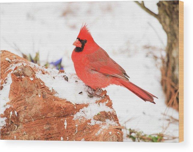 Cardinal Snow Bird Wood Print featuring the photograph Cardinal In Snow by Reecie Steadman